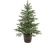 48  Norwegian Spruce Tree