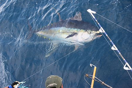 Melton international tackle big game fishing tackle for Tuna fishing games