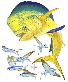 Guy Harvey Dorado