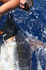 400lb. Blue Marlin brought alongside the Grander