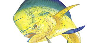 Dolphin / Mahi Mahi / Dorado