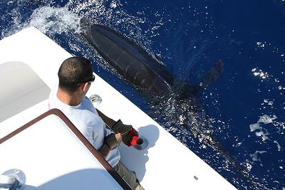 Thick Blue Marlin leadered portside