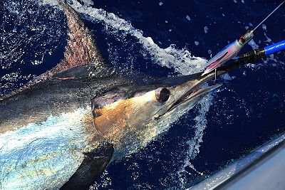 Estimated 550 - 600 lb. Blue Marlin alongside the Grander