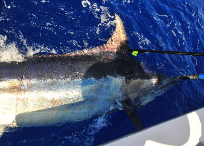 Tracy Melton's Blue Marlin 'Snooted' and tagged prior to a successful release