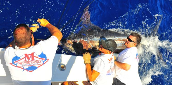 Jonboy Kelmer, Tracy Epstein and Tracy Melton prepare this Blue Marlin for release.
