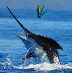 A small 450 lb. Blue Marlin (by Madeiran standards) puts on a show in close proximity to the Grander.