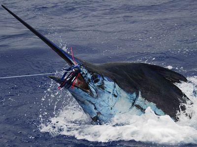 Madeira Marlin