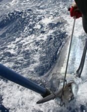 A nice average Madeira 500 lb. Blue boatside.