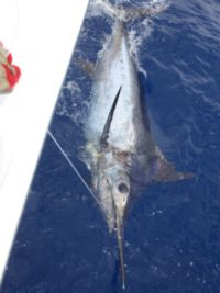 The second marlin of the day, approximately 350 lb.
