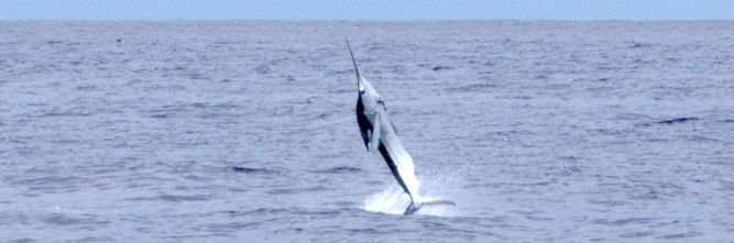 Estimated 60-70 lb. white marlin jumping.