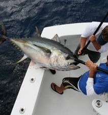 Bo Jeyns and Capt. Jonboy Kelmer bring a 250 lb. Bigeye Tuna over the rail of the Grander.