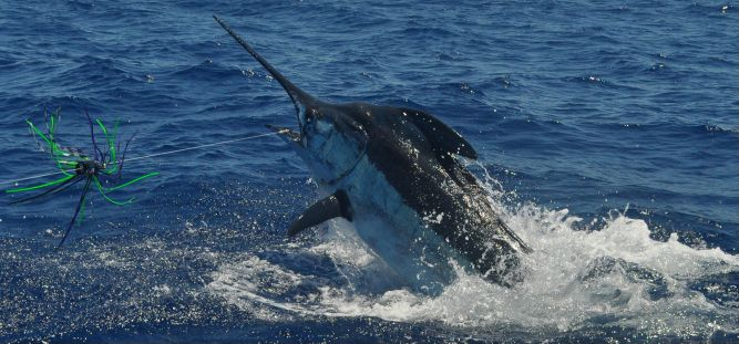 Nice blue marlin alongside the Grander.