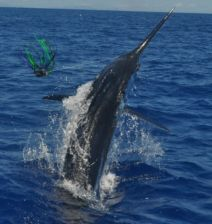 An estimated 750 lb. Madeira Blue Marlin.