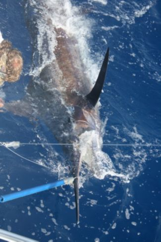 Nice Blue Marlin on the snooter.