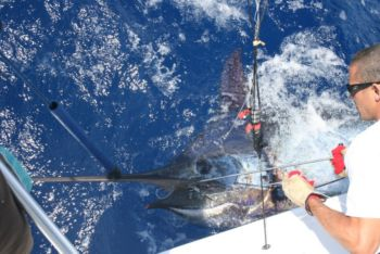 Tracy Epstein takes the hook out of this beautiful Madeiran Blue Marlin