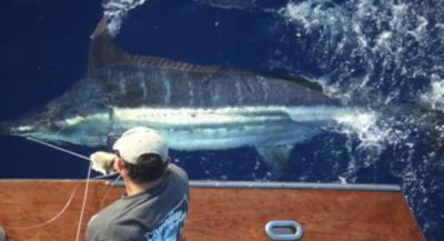 Tracy Epstein wiring a Pacific Blue Marlin