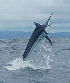 Panamanian Black Marlin