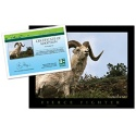 adopt a dall sheep    20