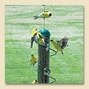 Green Spiral Finch Tube Feeder