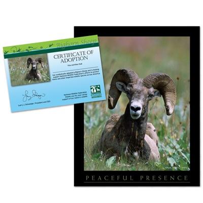 adopt a bighorn sheep    20