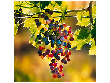 Grapes Outdoor Wall Art, , large