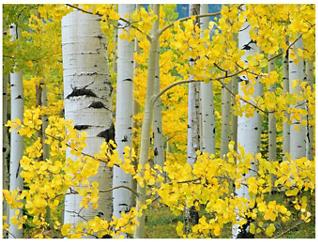 Aspen Trees Outdoor Wall Art, , large